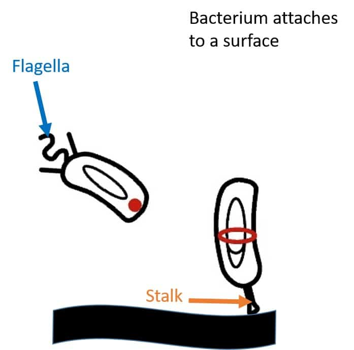 Caulobacter crescentus settles down on a surface by sticking to it with its bacterial glue